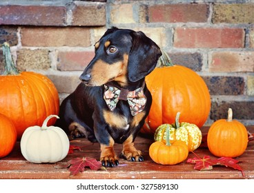 Black and tan miniature Dachshund and pumpkins, purebred dog wearing bow tie, selective focus, toned image