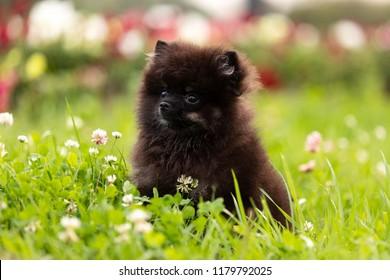 Black Pomeranian Puppy Tan Images Stock Photos Vectors Shutterstock