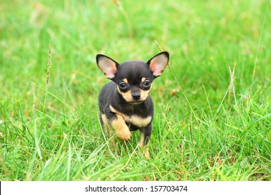 A black and tan purebred Chihuahua dog puppy standing in grass outdoors and staring (focus on dog's face).