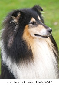 A black and tan Rough collie dog outside