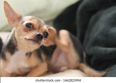 Teacup Chihuahua Images, Stock Photos & Vectors | Shutterstock