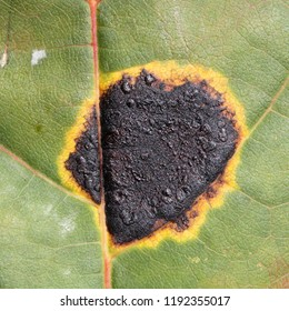Black tar spot caused by Rhytisma acerinum on green leaf of Norway maple or Acer platanoides