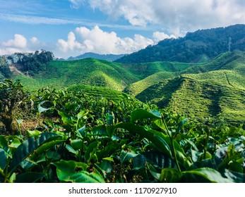 Black tea plantation in Cameron Highlands, Malaysia