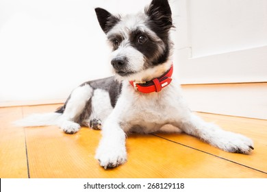 Black terrier dog sitting and resting at home on the floor looking thoughtful, wearing red collar