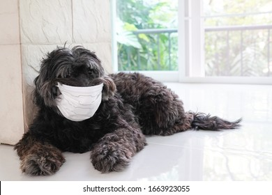 A black terrier dog wearing face mask with copy space; covid 19 concept, sick dog concept, protection pet from virus concept, protection pet from flu concept
