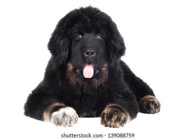 Black Tibetan mastiff puppy