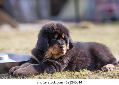 Black Tibetan mastiff puppy rests in grass next to feeding bowl