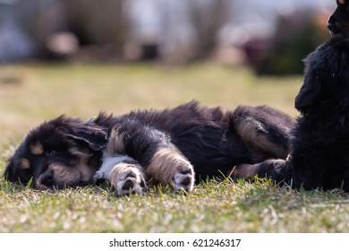 Black Tibetan mastiff puppy rests in grass next to sibling