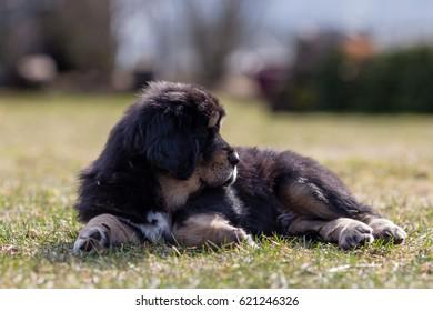 Black Tibetan mastiff puppy rests in grass