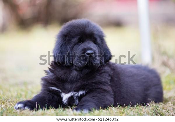 Black Tibetan Mastiff Puppy Rests Grass Stock Photo (Edit