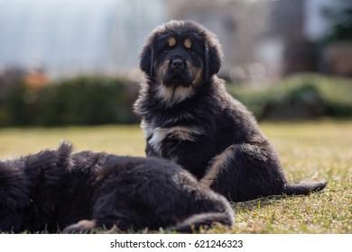 Black Tibetan mastiff puppy sits in grass next to sibling
