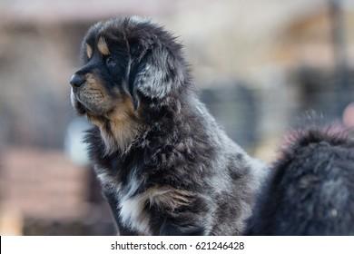 Black Tibetan mastiff puppy stands