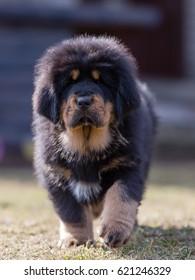 Black Tibetan mastiff puppy walks in a yard with house in the background