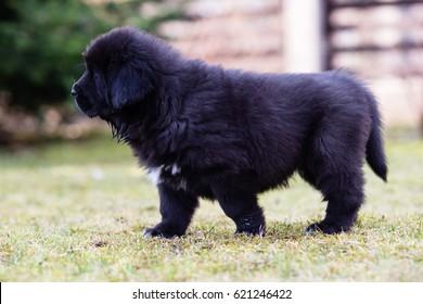 Black Tibetan mastiff puppy walks in a yard with fence in the background