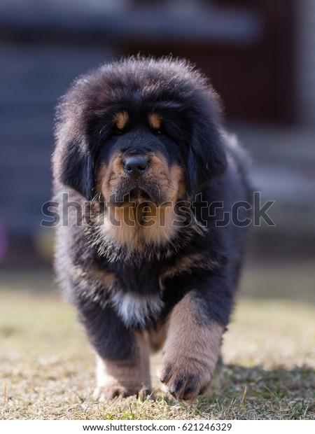 Black Tibetan Mastiff Puppy Walks Yard Stock Photo (Edit Now
