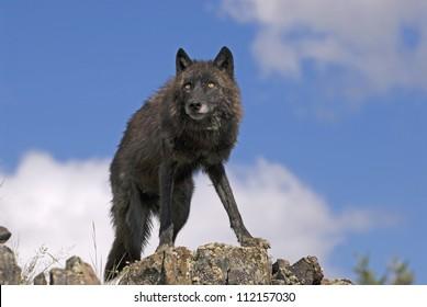 Black timber wolf on a Montana ridge
