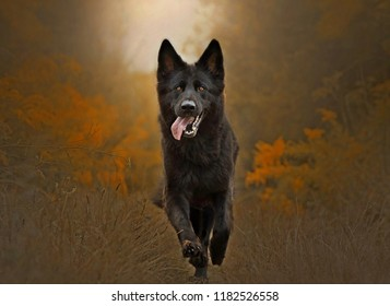 Black timber wolf running in foggy autumn forest hunting on sacrifice. Portrait of angry black wolf with open mouth tongue out. Wild wolf follows his victim in fog evening fall woods. Dangerous animal