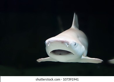 The black tip reef shark, Carcharhinus melanopterus