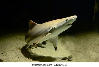 Black tip reef shark isolated on black