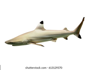 Black tip reef shark isolated on white