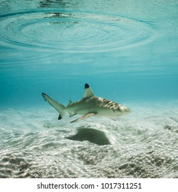 Black tip reef shark swimming in crystal clear shallow water