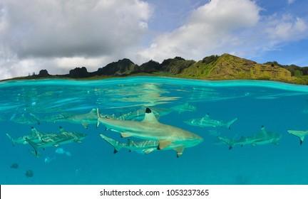 black tip shark in the lagoon of moorea