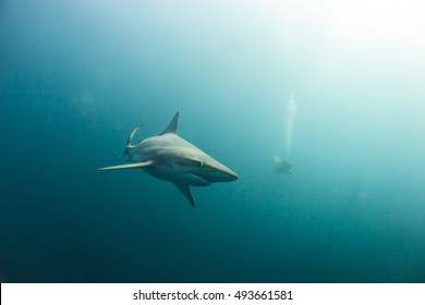 Black tip shark swimming in a misty blue ocean with a diver in hot pursuit.