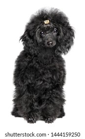 Black Toy poodle puppy sits on white background. The theme of baby animals