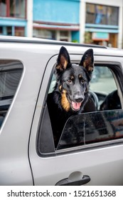 Black trained shepherd dog guards his owner's car as a faithful watchman and friend, peering out of the ajar car window ready to protect property during the absence of the owner