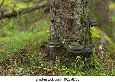 Black tree fungus on conifer trunk.