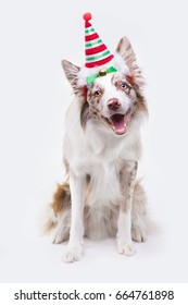 Black tricolor border collie with pumpkin on white background