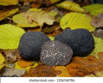 Black truffles (Tuber melanosporum) on leaves bed