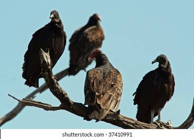 Black and Turkey Vultures (Coragyps atratus and Cathartes aura)