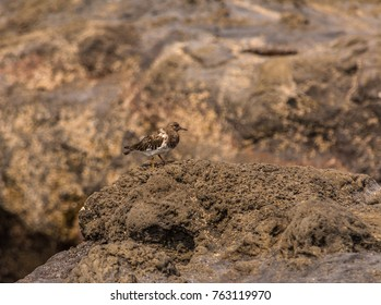 Black turnstone (Arenaria melanocephala) on a rocky seashore in late August at Yachats State Park, Yachats, Oregon.