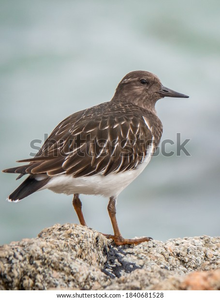 The Black Turnstone (Arenaria melanocephala) is a shorebird inhabiting the Pacific Coast from Alaska to Baja California. This bird was sighted at Garrapata State Park, along the Monterey Bay.
