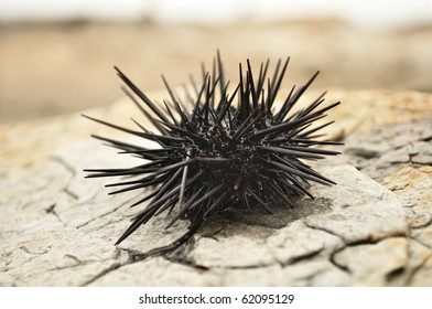 Black urchin on the dry rocks of a Hong Kong island.