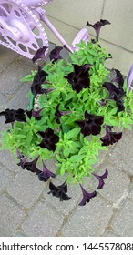 Black velvet petunia in a pot, standing on the stone block paving. Black petunia flowers contrast with green leaves. Petunia growing in an outdoor pot, standing on the grey stone paving.