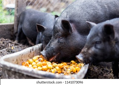 Black Vietnamese pigs on the farm eat apricots from the trough