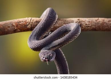 Black Viper, Trimeresurus purpureomaculatus, Manggrove Pit VIper, Venomous snake
