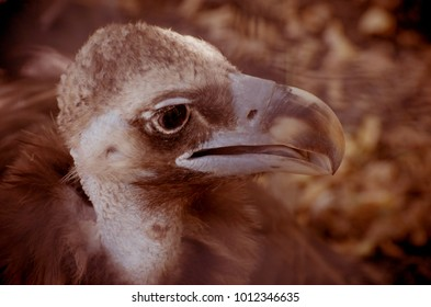 Black vulture, Aegypius monachus, Portrait of a young wild bird through zoo cage.