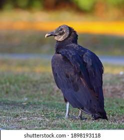 Black vulture (Coragyps atratus) in Everglades, Florida, USA