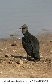 Black vulture, Coragyps atratus, single bird by water, Brazil