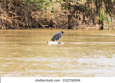 black vulture floating over a dead cayman on river from Pantanal, Brazil. Brazilian wildlife.