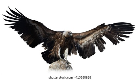 black vulture. Isolated over white background