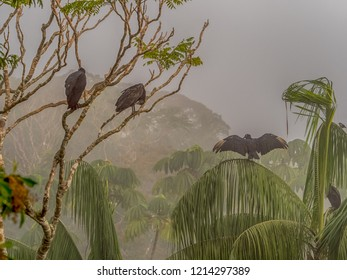 Black vulture, with outstretched wings, on the jungle palm tree in the Amazon. Brazil. Latin America. American black vulture, is a bird in the New World vulture family, Coragyps atratus