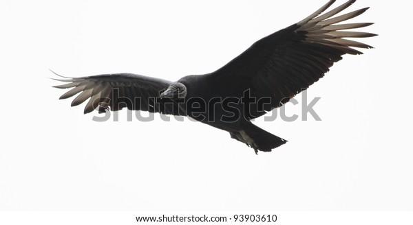 Black vulture preparing to land.