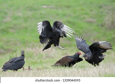 Black vulture and turkey vulture feeding on roadkill between Boerne and Sisterdale in Texas.