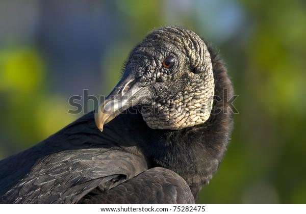 Black vulture in wild,  close up. Latin name -Coragyps atratus.
