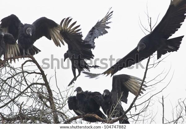 Black Vultures gathering around tree. Latin name -  Coragyps atratus.
