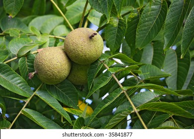 Black Walnut (Juglans nigra) tree with fruit